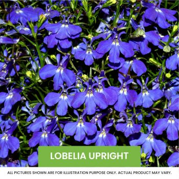 Lobelia Upright