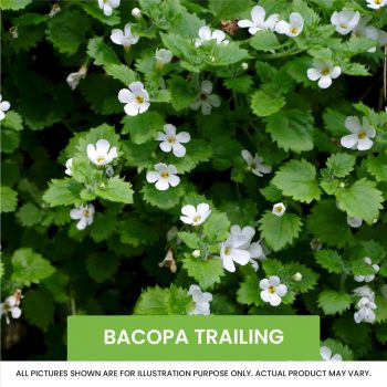 bacopa trailing