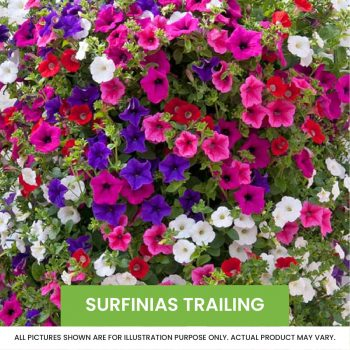 surfinias trailing